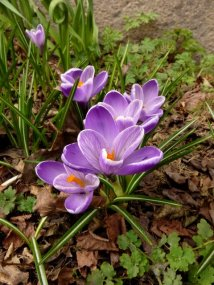Crocus April 11