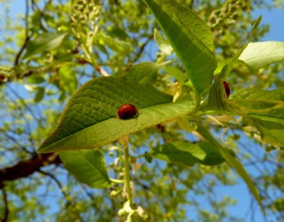 Ladybirds in the Bird Cherry Tree