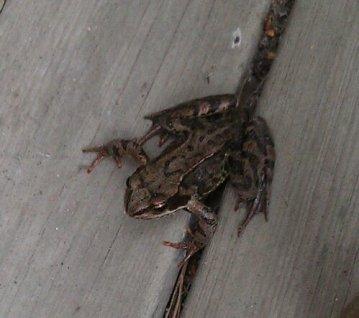 frog snap