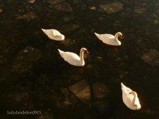 Swans in the icy Strömmen