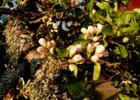 apple blossom and moss