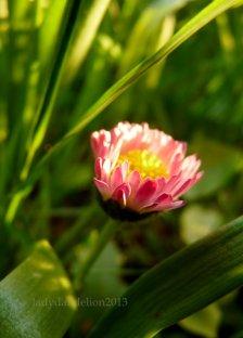common daisy aiming to reach the sky