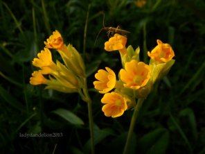 primula veris and a bug friend